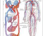Сердечнососудистая система человека