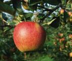 Мойте яблоки