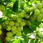 чудо-дерево - гингко билоба